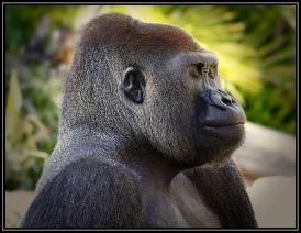 Meditating Silverback Gorilla - Los Angeles Zoo